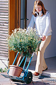 Pick up Argyranthemum frutescens (Marguerite) in autumn