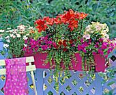 Lilium 'Matrix' (lily), Nicotiana 'Tuxedo Peach' (ornamental tobacco)