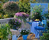 Scaevola 'Blue Yonder' (fan flower)