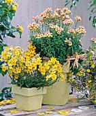 Nemesia Sunsatia 'Lemon', 'Mango' (nemesia)