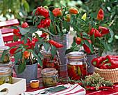 Capsicum (pepper) plants in tin pots