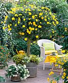 Euryops (daisies), Verbena 'White' (verbena)