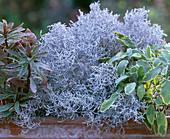 Calocephalus barbed wire, Euphorbia 'Helena' spurge, Salvia 'Icterina'