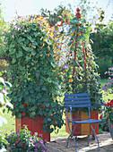 Ipomoea tricolor (Morning Glory), Ipomoea lobata (Quamoclit)