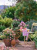 Argyranthenum 'Crazy Daisy', 'Summer Star'