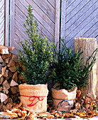Winter protection for Ilex (Holly) and Taxus Yew