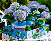 Hydrangea (blue hydrangea) on a pale blue tray with floral decoration.