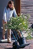 Solanum jasminoides (climbing nightshade)