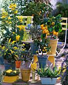Citrus limon 'Florentina' (lemon)