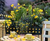 Narcissus (Narcissus), Primula 'Butter Yellow', 'Cabrillo'