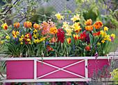 Pink box with tulipa (tulip)