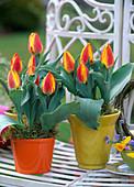 Tulipa 'Flair' (tulips)