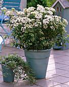 Viburnum tinus (laurel snowball)