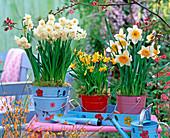 Narcissus 'Bridal Crown', 'Tete À Tete', 'Flower Record'