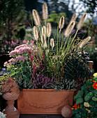 Pennisetum compressum, Sedum spectabile, Calluna vulgaris
