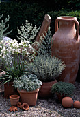 Agapanthus orientalis, Anthemis cretica var. Cupaniana, Artemisia 'Lambrok Silver'