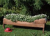 Scented sofa, Chamaemelum nobile (dogfennel)