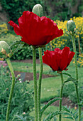 Papaver orientale 'Beauty Of Livermere' (Turkish Poppy)