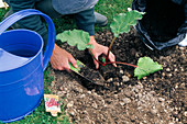 Rhubarb planting Step By Step