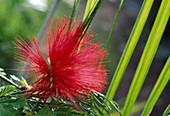 Calliandra tweedii / Flammenbusch