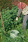 Woman cutting (Urtica dioica) nettles for nettle stock