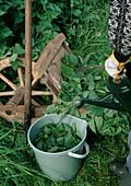 Nettle leaves in bucket with water