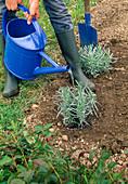 5. Step Lavendel PFLANZEN , frische Lavendelpflanzen ANGIEßEN