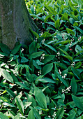 Convallaria at the foot of a tree