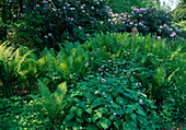 Shadow garden with rhododendron, lunaria and ferns