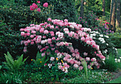 Rhododendron in the light shade under big trees, ferns