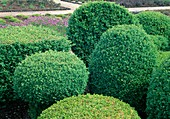 Buxus sempervirens (Box), round form and angular cutting