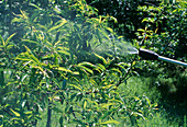 Spay Prunus dulcis against diseases and pests