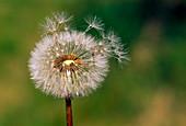 Dandelion seeds with flying umbrellas, dandelion