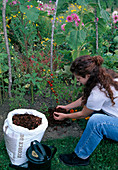 Mulching Woman Spread bark mulch around tomato plants