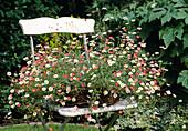 Erigeron karvinskianus, spanish daisy flower placed in basket on chair
