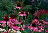 Echinacea purpurea (red coneflower)