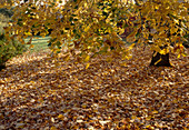 Tilia cordata with yellow autumn leaves, leaves lie under the tree on the lawn