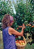 Harvest apricots (Prunus armeniaca)
