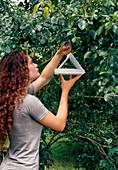 Pheromone trap hanging on Mirabelle tree (Prunus domestica)