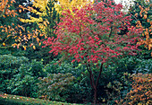 Acer griseum (cinnamon maple) in autumn coloration