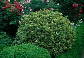 Ilex aquifolium 'Aureomarginata' European Holly, globose cut