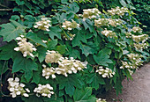 Hydrangea quercifolia (Oak-leaved Hydrangea)