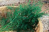 Freshly harvested dill (Anethum graveolens)