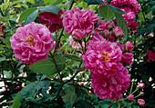 Rosa wichuriana 'Alexandre Girault', once flowering with good scent