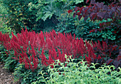 Astilbe Arendsii hybrids' Fanal'-astilbe in the shade before trees