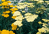 Achillea filipendulina 'Credo', 'coronation gold' (yarrow)