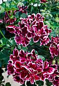 Pelargonium peltatum 'Bolero' (Hanging Geranium)