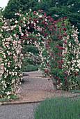 Pink 'debutante', 'magenta' (rambler roses) overgrow the archway