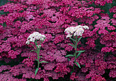 Achillea millefolium 'Cherry Queen' and Achillea decolorans