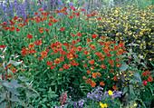 Helenium 'Indian Summer' and Lysimachia ciliata 'Firecracker'